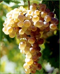 Tο ικαριώτικο Sauvignon Blanc