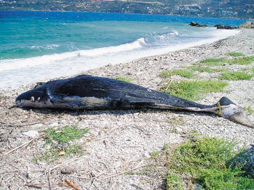 Φάλαινα βρέθηκε νεκρή στα βόρεια της Σάμου