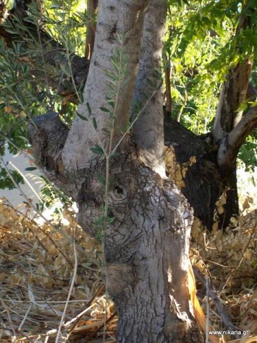 η ελιά ελέφαντας στο Μαγγανίτη