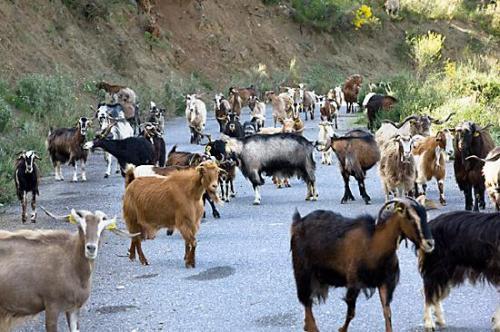 Ανακοίνωση ΕΚΣ για κτηνοτρόφους
